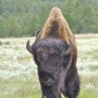 """real bison"" (<a href='/inquire.php?gallery=buffalo&file=092407_037.jpg&caption=real bison'>Inquire about this piece</a>)"